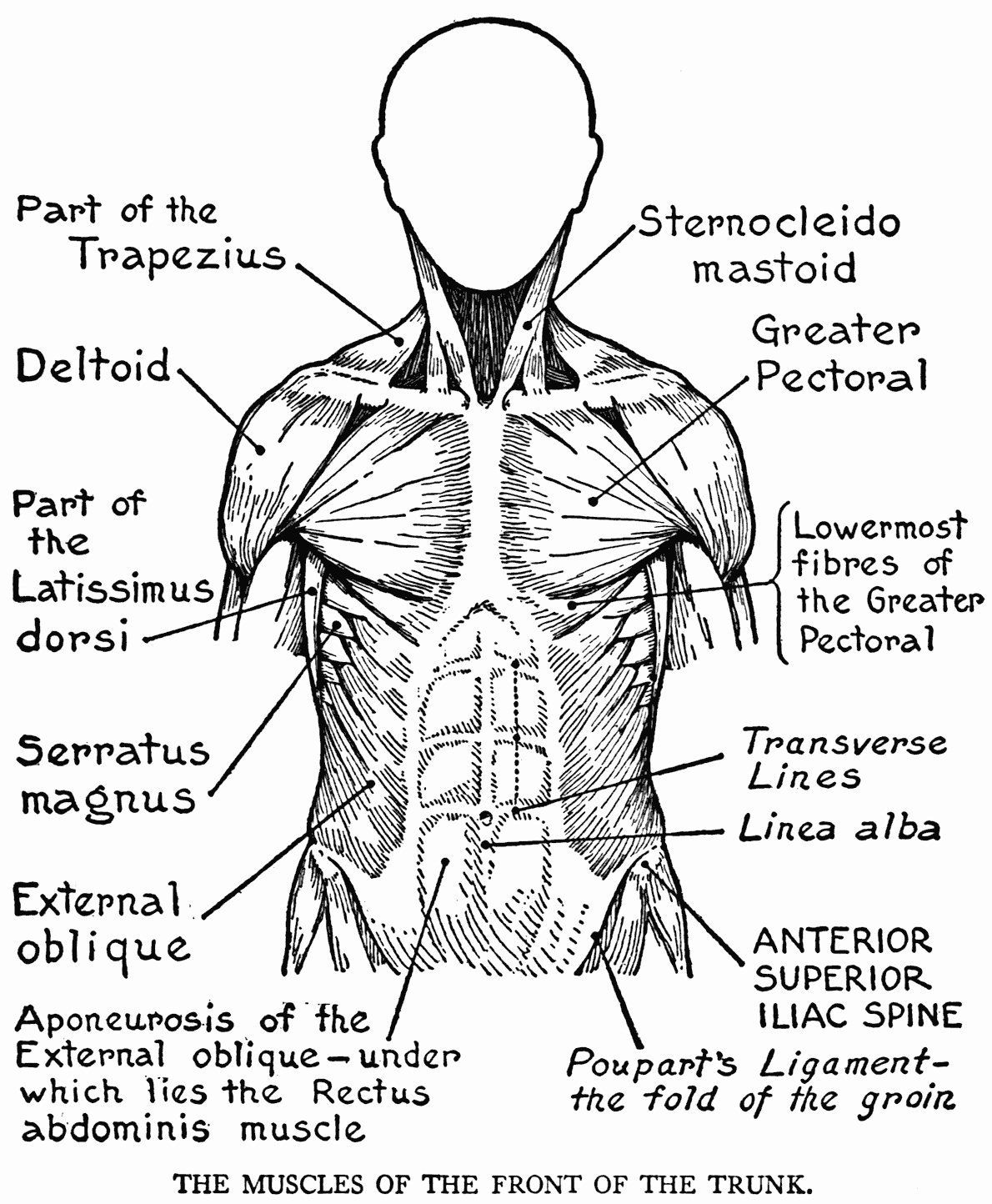 Muscle Coloring Pages Anatomy
