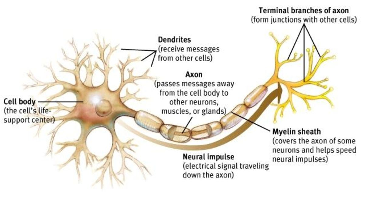 Image result for brain cell diagram   Neuron structure and ...