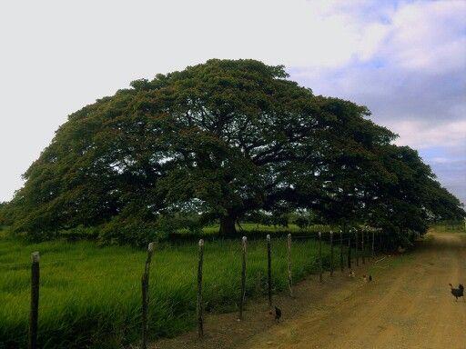 Chickens and Saman tree