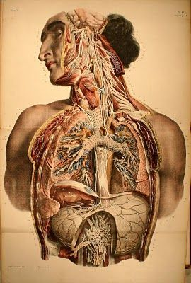Vintage Anatomical Illustration | Art - Anatomy | Pinterest ...