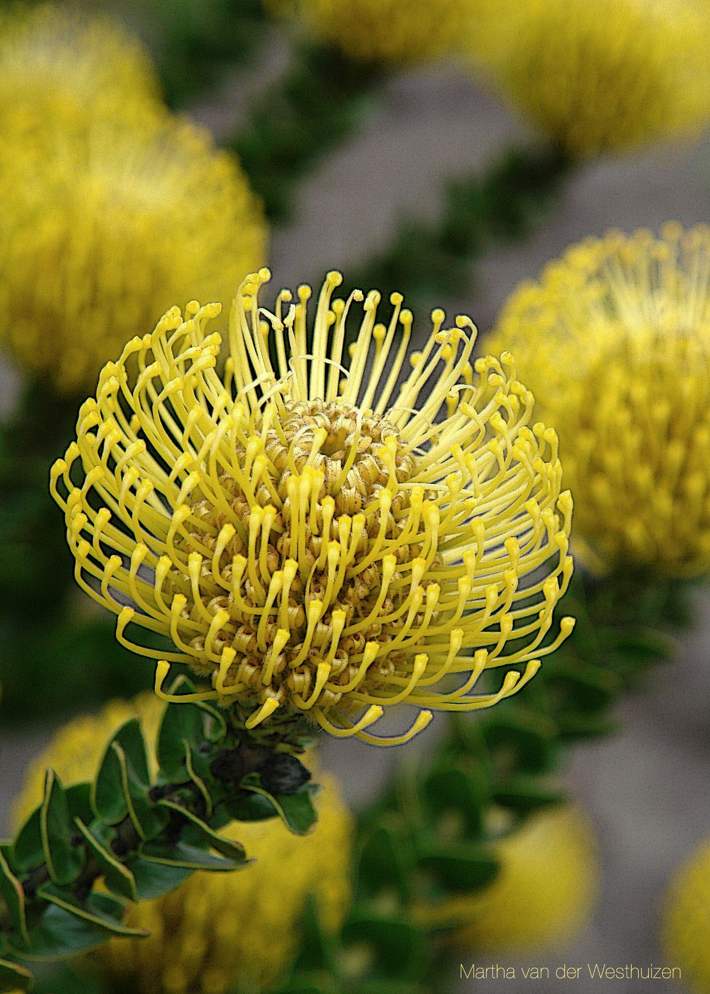 Yellow Pincushion Flower Family Of The Protea Flowers Australian Flowers Amazing Flowers