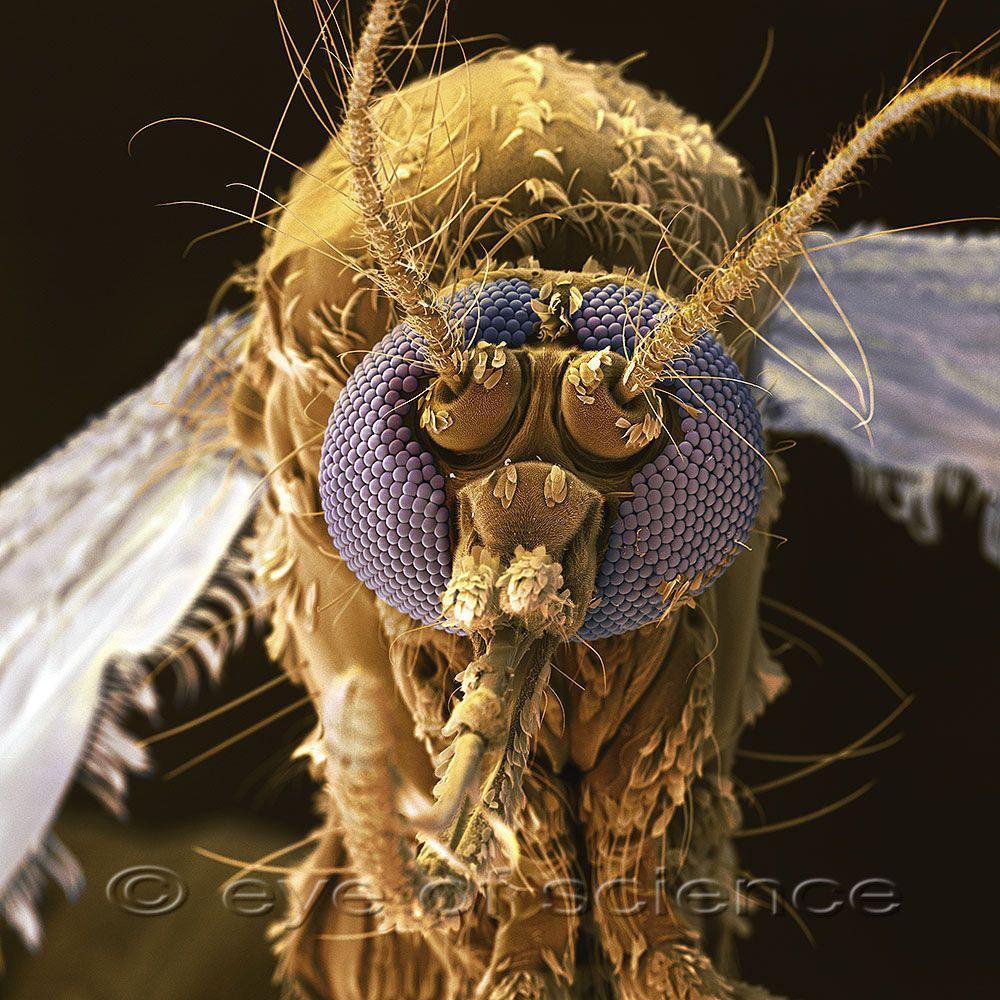 Mosquito mosquitoes stegomyia aegypti old aedes aegypti seen