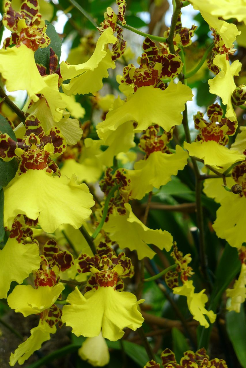 Yellow orchid unnamed orchids u exotics pinterest yellow