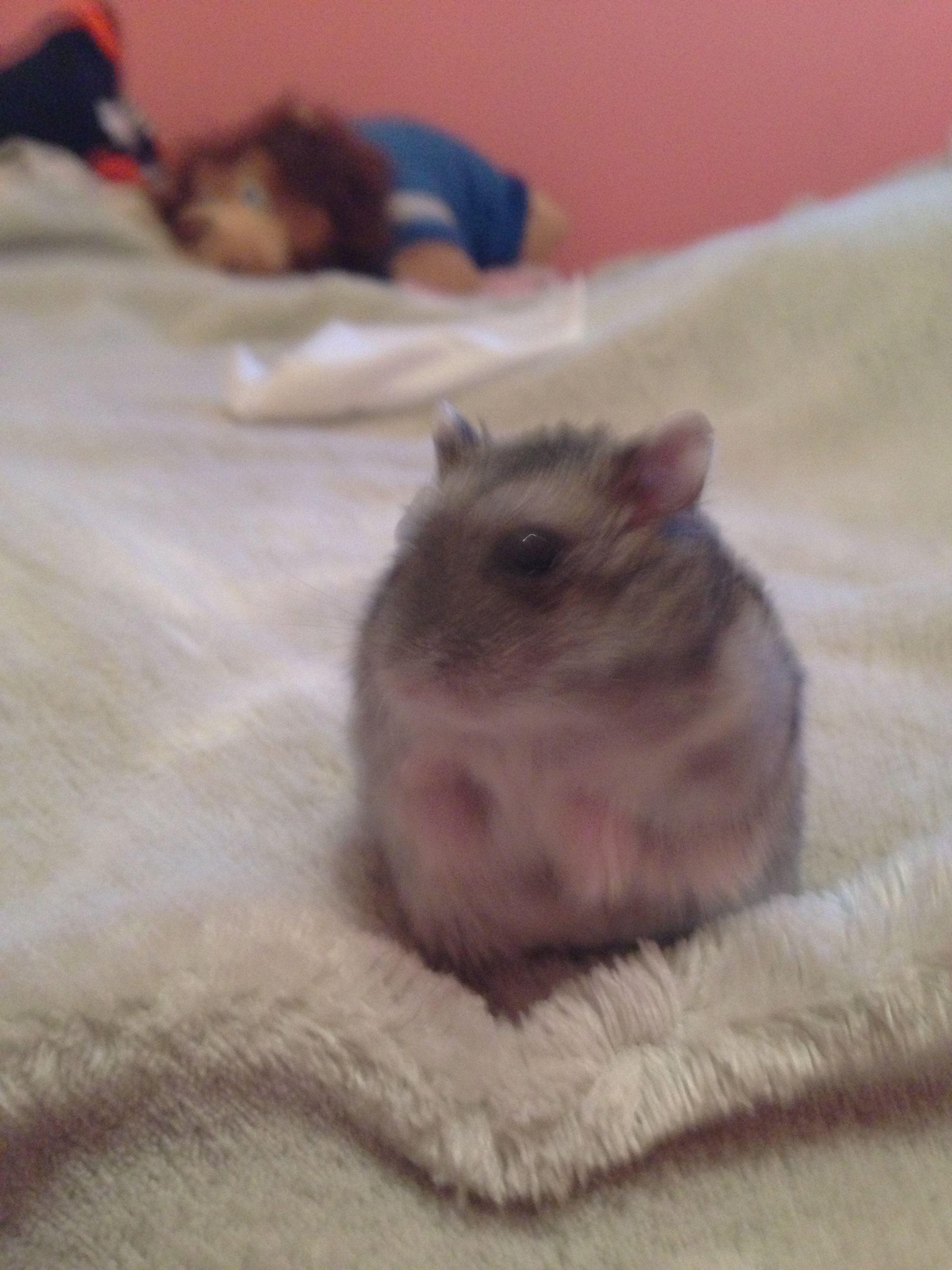 My hamster Hammi