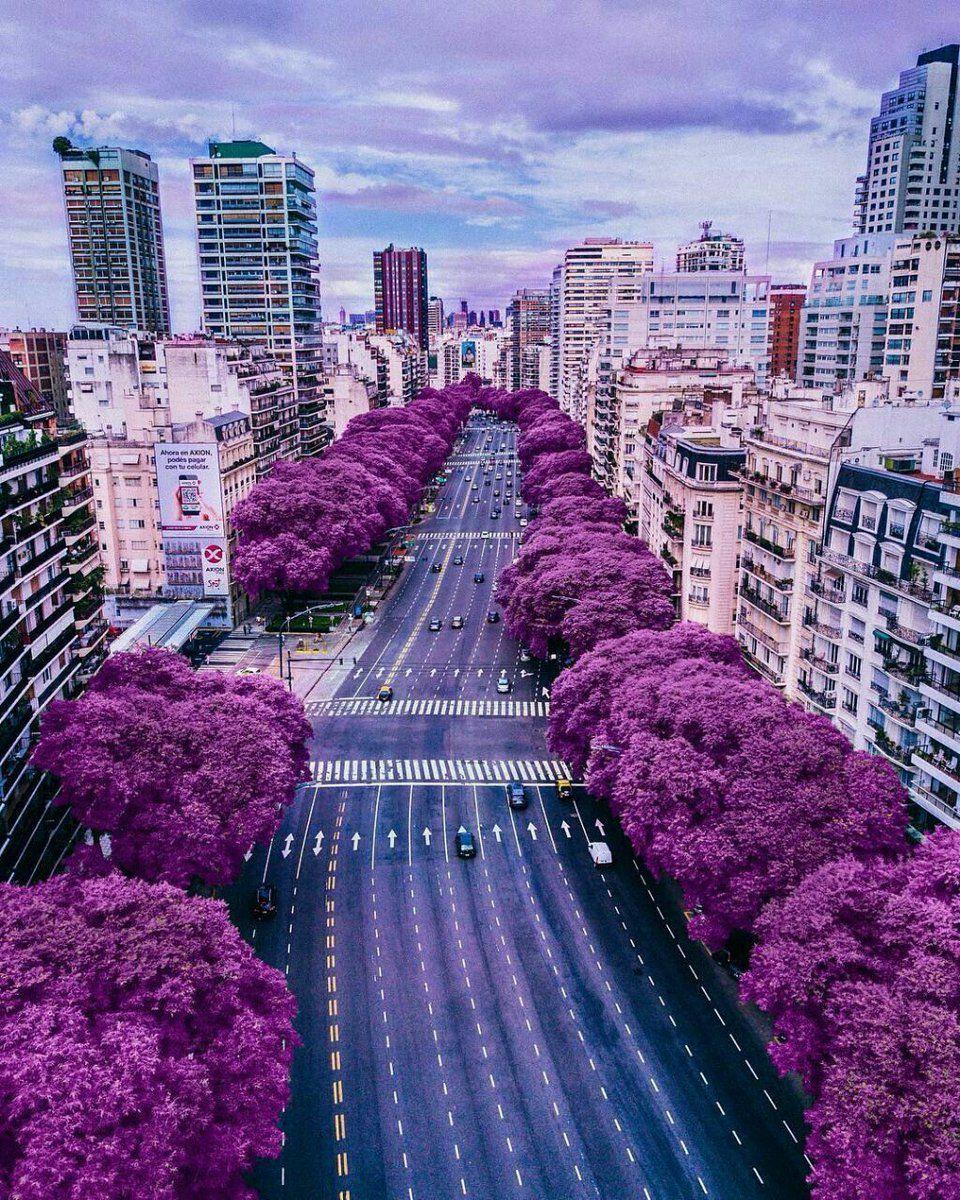 jacarandaes en flor, Buenos Aires, Argentina   Argentina travel ...