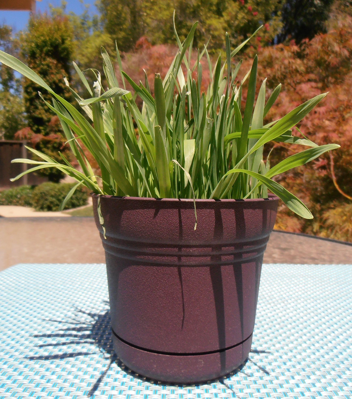 How To Grow Cat Grass Cat grass, Grass seed, Grass