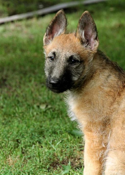 belgian shepherd laekenois puppy Х belgian shepherd
