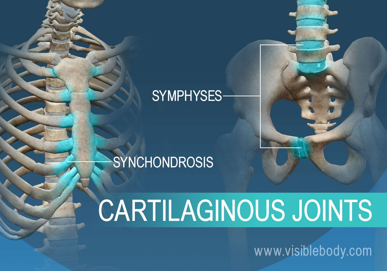 Synchondrosis And Symphyses Two Types Of Cartilaginous Joints Joints Anatomy Bone And Joint Joint C2 develops from four ossification centres at birth, one for each. joints anatomy bone and joint