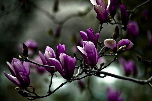 Purple Saucer Magnolia Fuchsia Garden Magnolia Amazing Flowers
