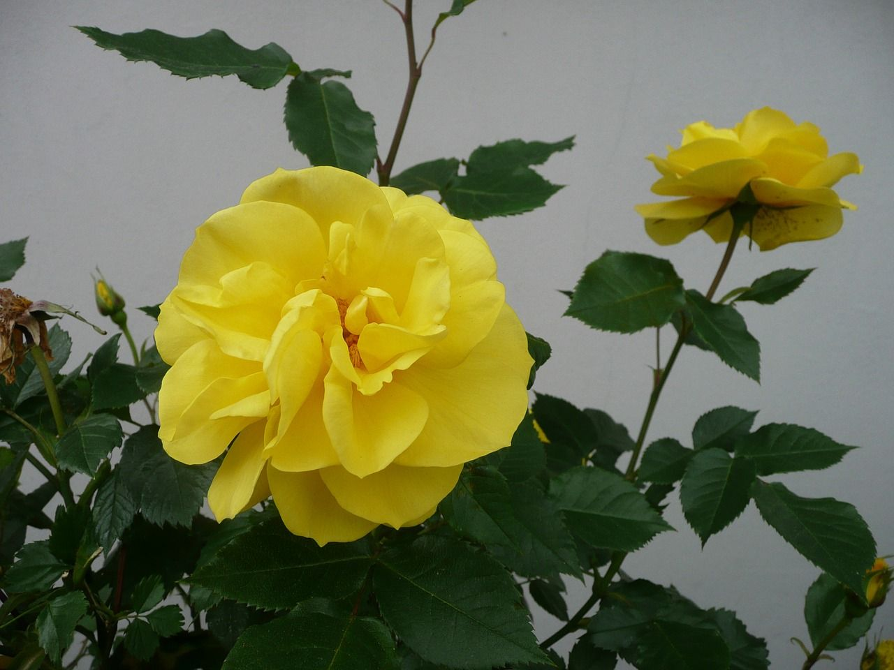 Park Yellow Rose Flower Flowers Park Yellowrose Flower Flowers Yellow Roses Rose Flowers