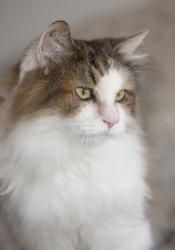 Adopt Stitches Courtesy Post On Petfinder Norwegian Forest Cat Cats And Kittens Forest Cat