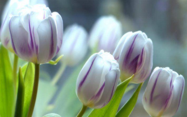 Telecharger Fonds D Ecran Blanc Tulipes Le Printemps Les Fleurs Sauvages Fleurs De Printemps Les Tulipes Besthqwallpapers Com Fleurs Sauvages Fleurs Printemps Tulipe Blanche
