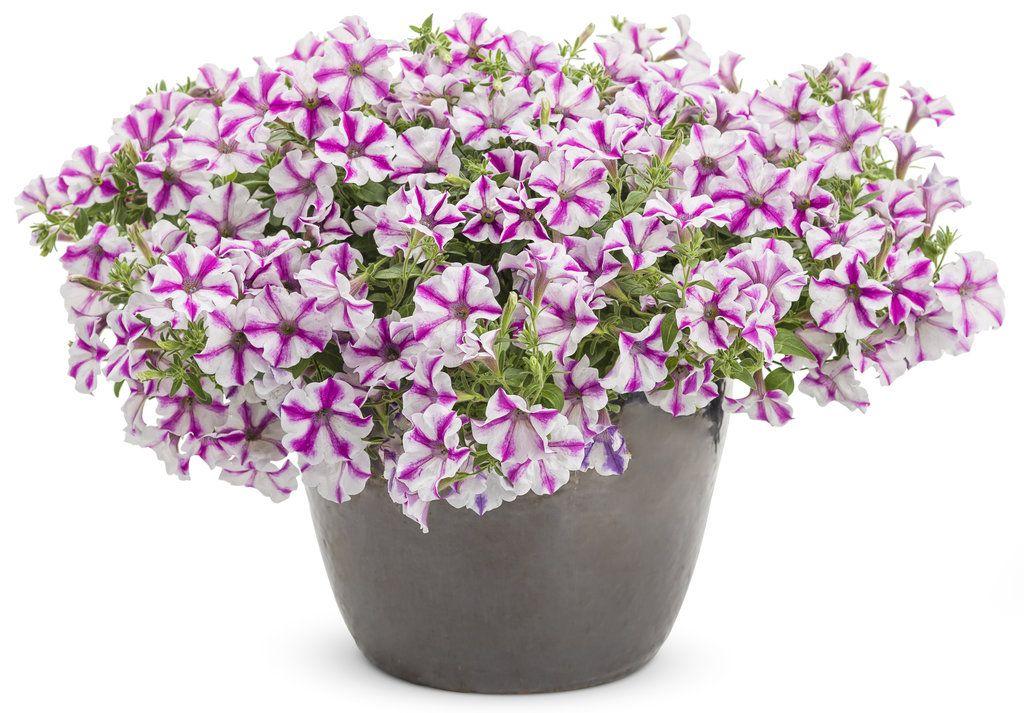 Supertunia Lovie Dovie Petunia Hybrid With Images