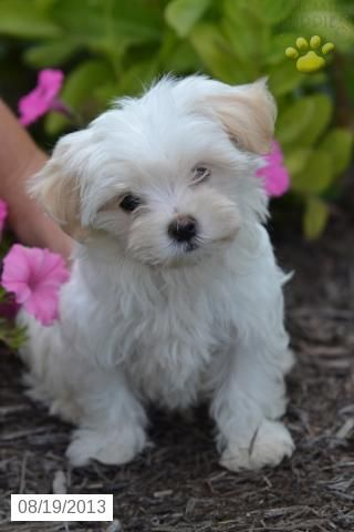 Maltese Puppy For Sale Cute Cats Dogs Maltese Puppies For Sale