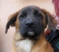 Neieko Chiot Boxer A Adopter Chiot Chien A Donner Chiot Boxer