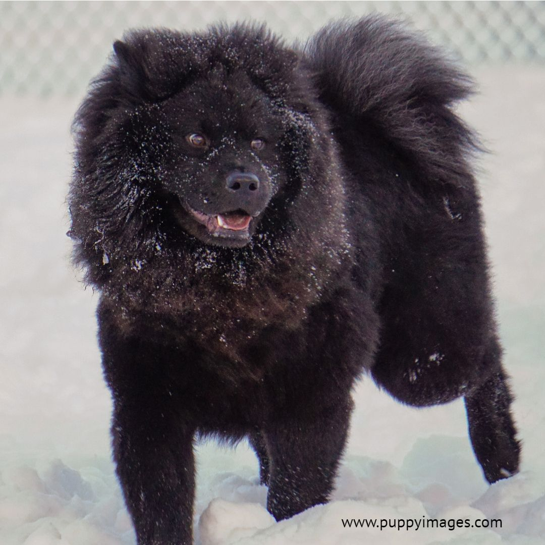 Black Chow Chow Dog In The Snow Chow Chow Dogs Black Chow Chow
