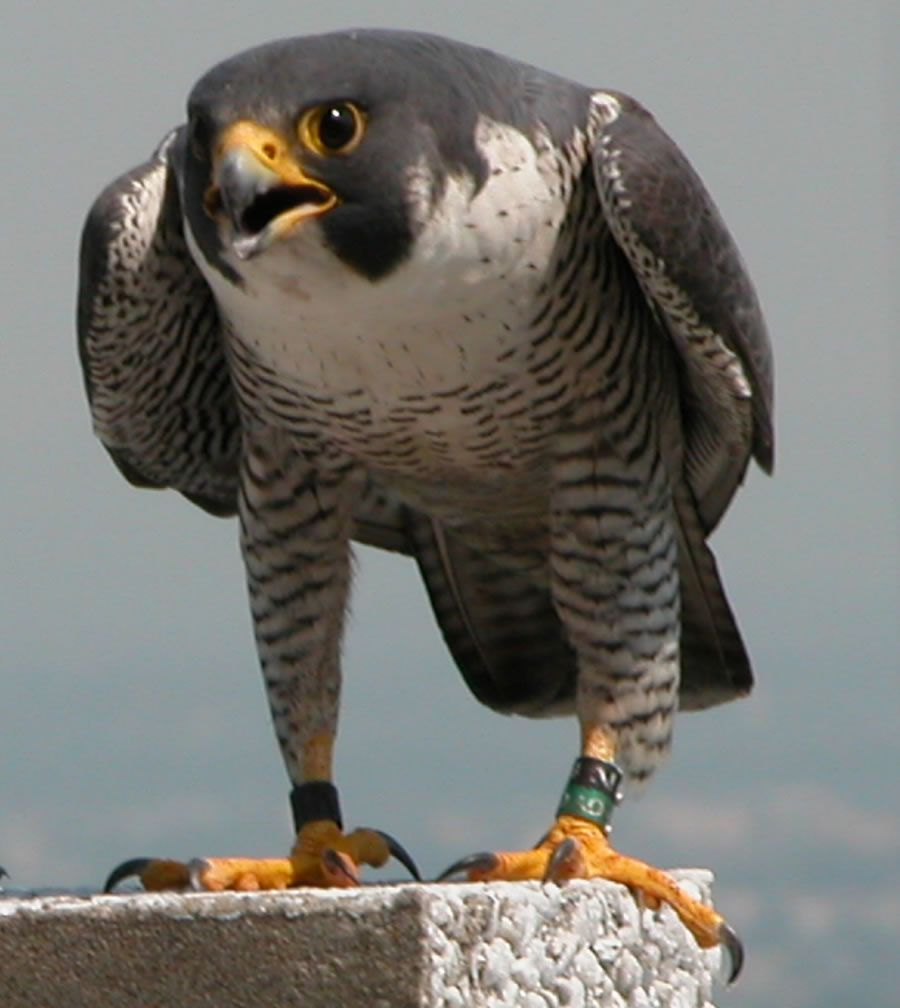 Moving On Up To The East Side Peregrine Falcons Get A Piece Of The Sky In Jersey City Pet Birds Peregrine Falcon Animals Wild