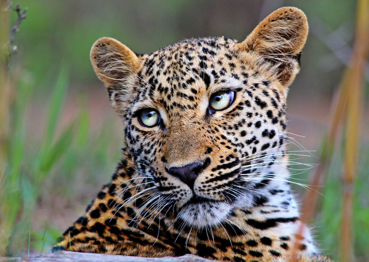 pictures of a close up amur leopard spots and ears