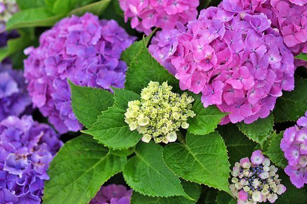 Plantas para el balcón con media sombra El balcon, Hortensias y
