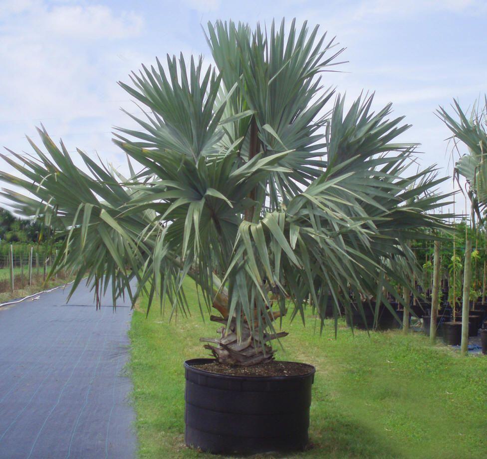 Types Of Lilies In Florida: Bismarkia Palm - Semi-hardy