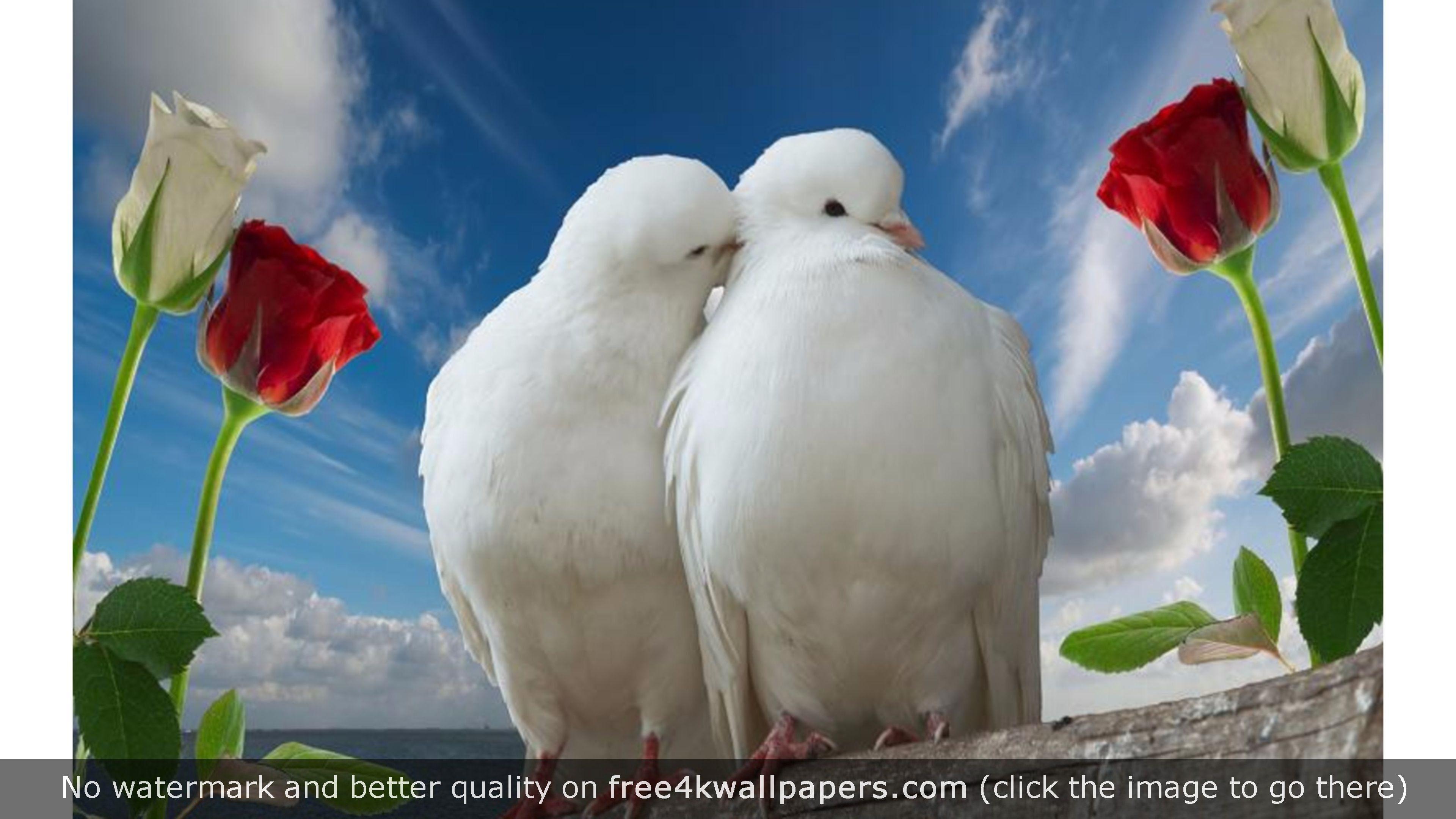 White Doves Love 4k Wallpaper Full Hd Love Wallpaper Love Birds Wallpaper Birds Pictures