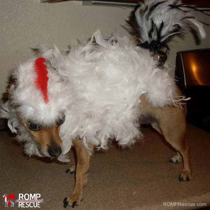 diy dog halloween costume dog chicken costume chicken costume dog pet - How To Make A Dog Halloween Costume