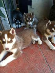 Purebred Siberian Husky Puppies 8 Weeks Old Ready Now Siberian