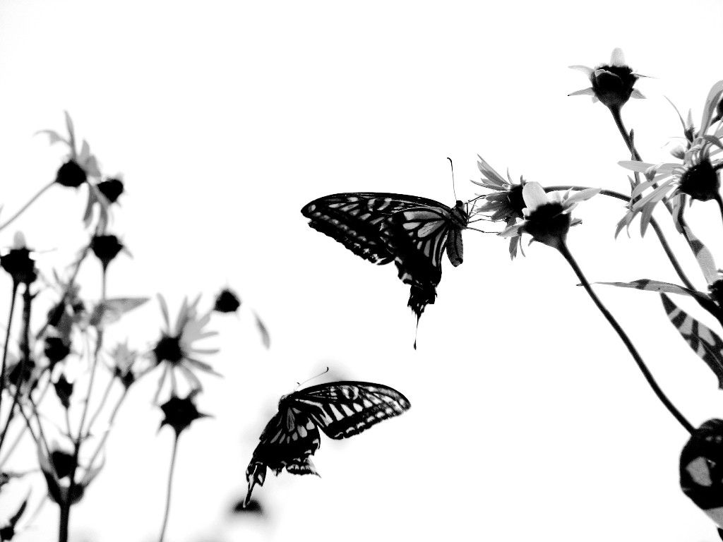 Black Color Butterfly Wallpaper For Hd Background Butterfly Background Black And White Background Butterfly Wallpaper