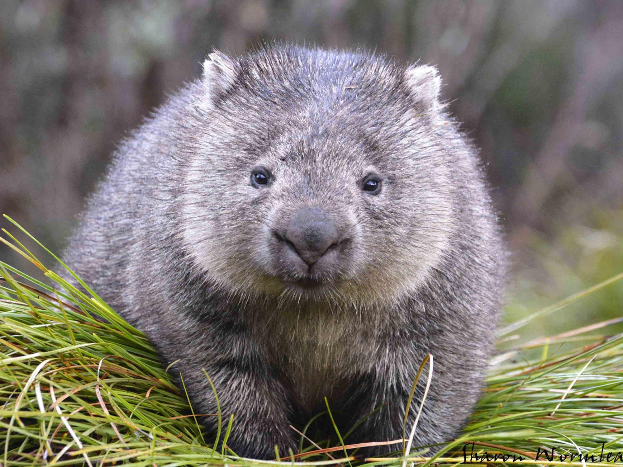 Cradle Mountain Wildlife Животные австралии, Животные и