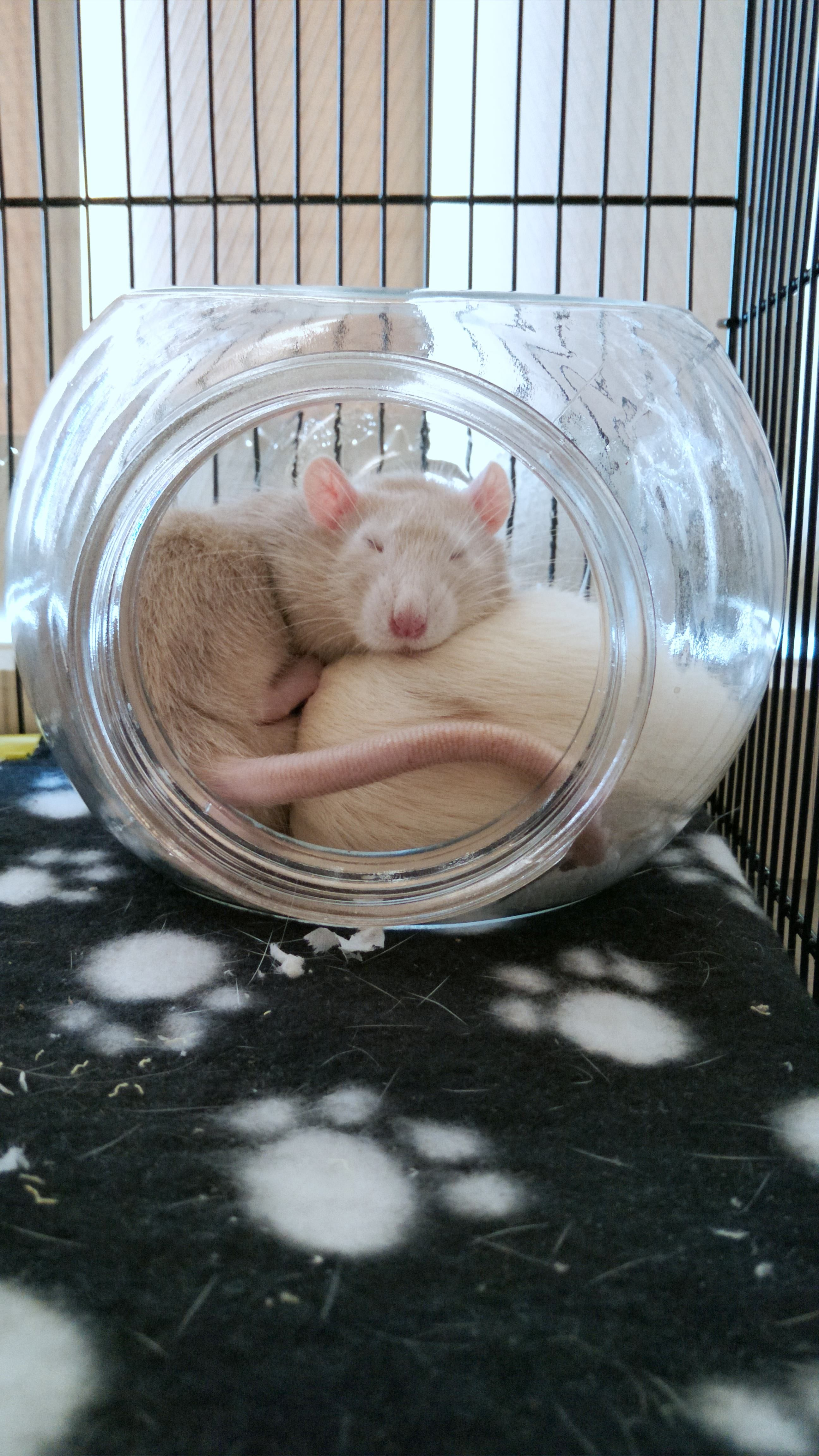 My Two Handsome Boys 3 Aww Cute Rat Cuterats Ratsofpinterest Cuddle Fluffy Animals Pets Bestfriend Ittssofluffy Pet Rat Cages Pet Rodents Pet Mice