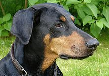 Doberman Pinscher Germany Pictured Without Ears Cropped