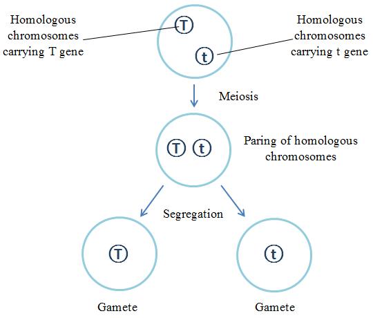 Science Corner Mendel S Law Of Segregation Law Science Physics