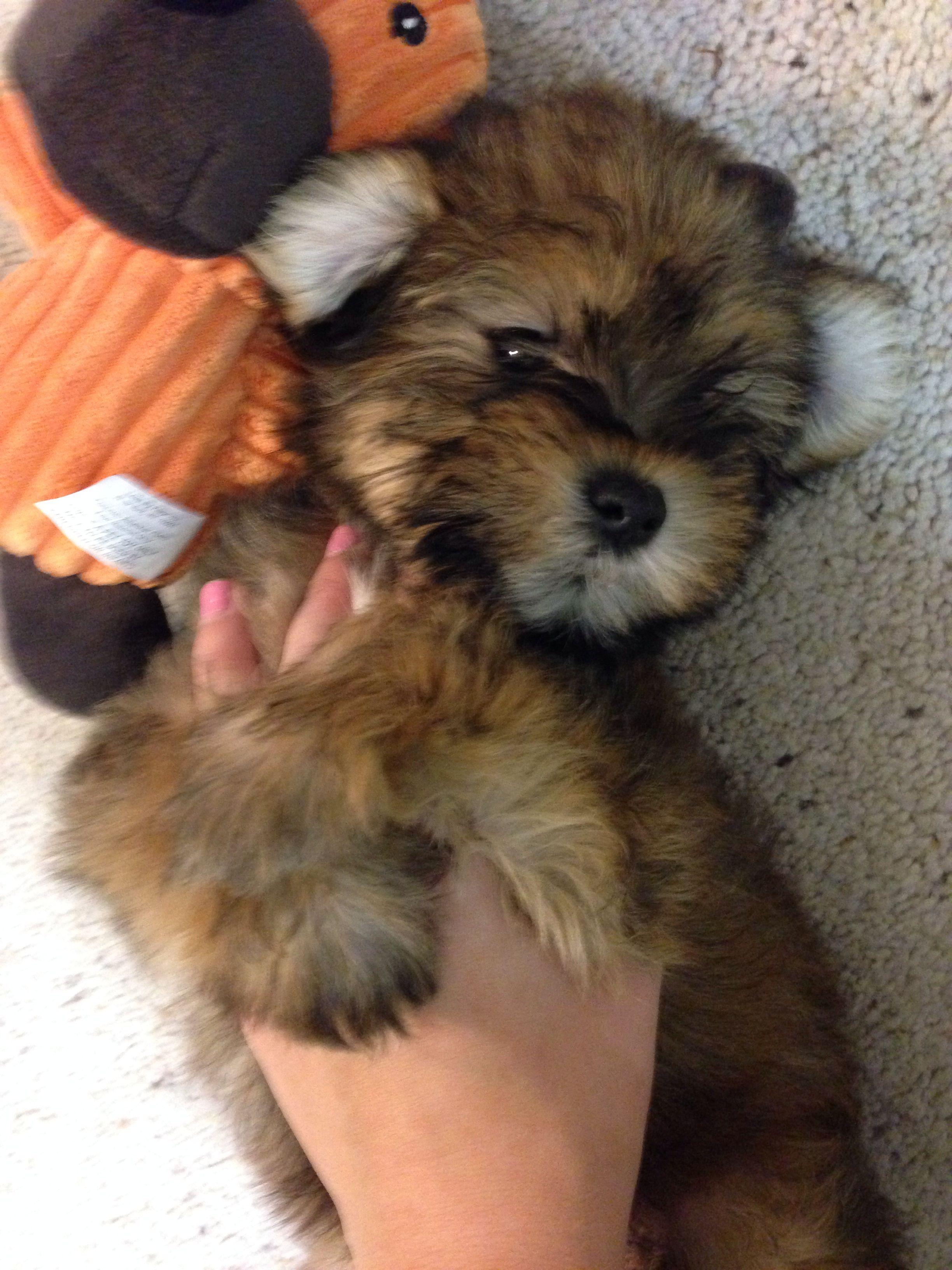 Schnauzer Shih Tzu Mix Teddy Bear Puppy Cute Baby Animals Cute