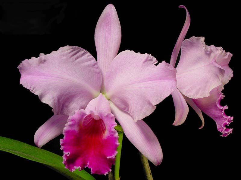 Brazil National Flower In 2020 Cattleya Flowers Orchid Images
