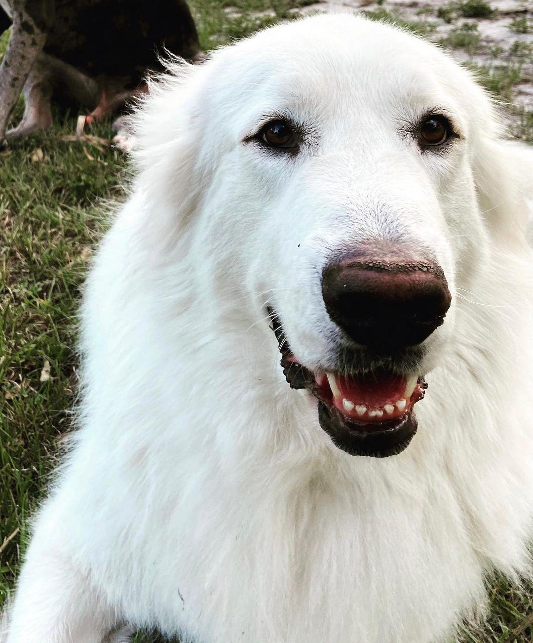Today is my Birthday!! Im 4 yrs old!!!! #maremmasheepdogs #maremmasheepdog #dogsofinstagram...