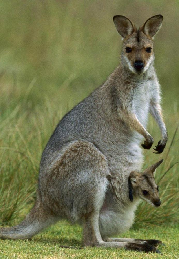 Kangaroo & Joey   Tari's picks   Pinterest
