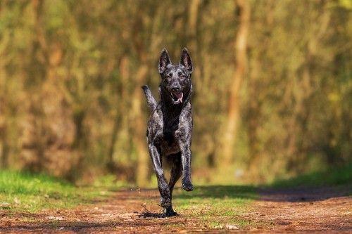 Adorable Perro negro corriendo en el campo
