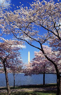 Cherry Blossom Time in DC April 9 2014