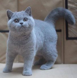 Image result for british shorthair (With images) British
