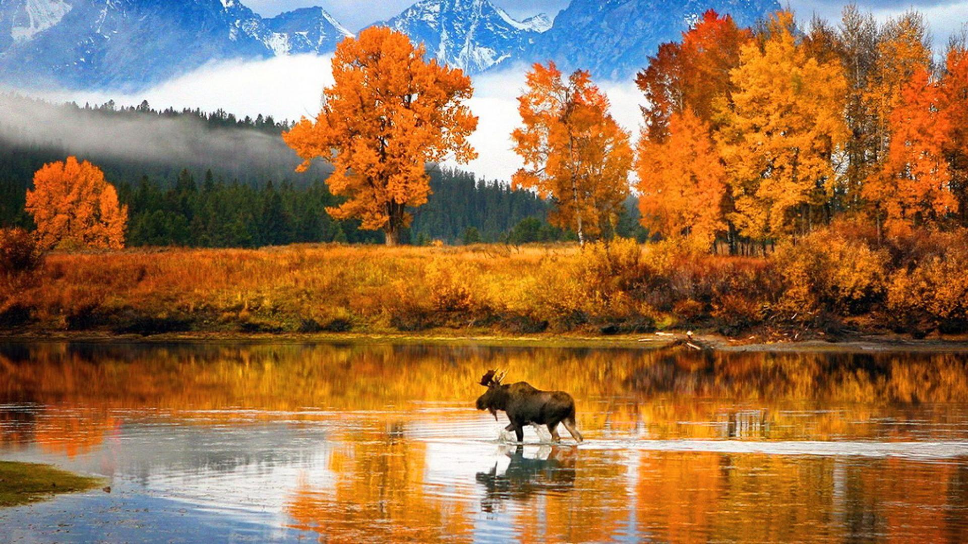 Download Alaska Moose Wallpaper For Windows #hKP3D ...