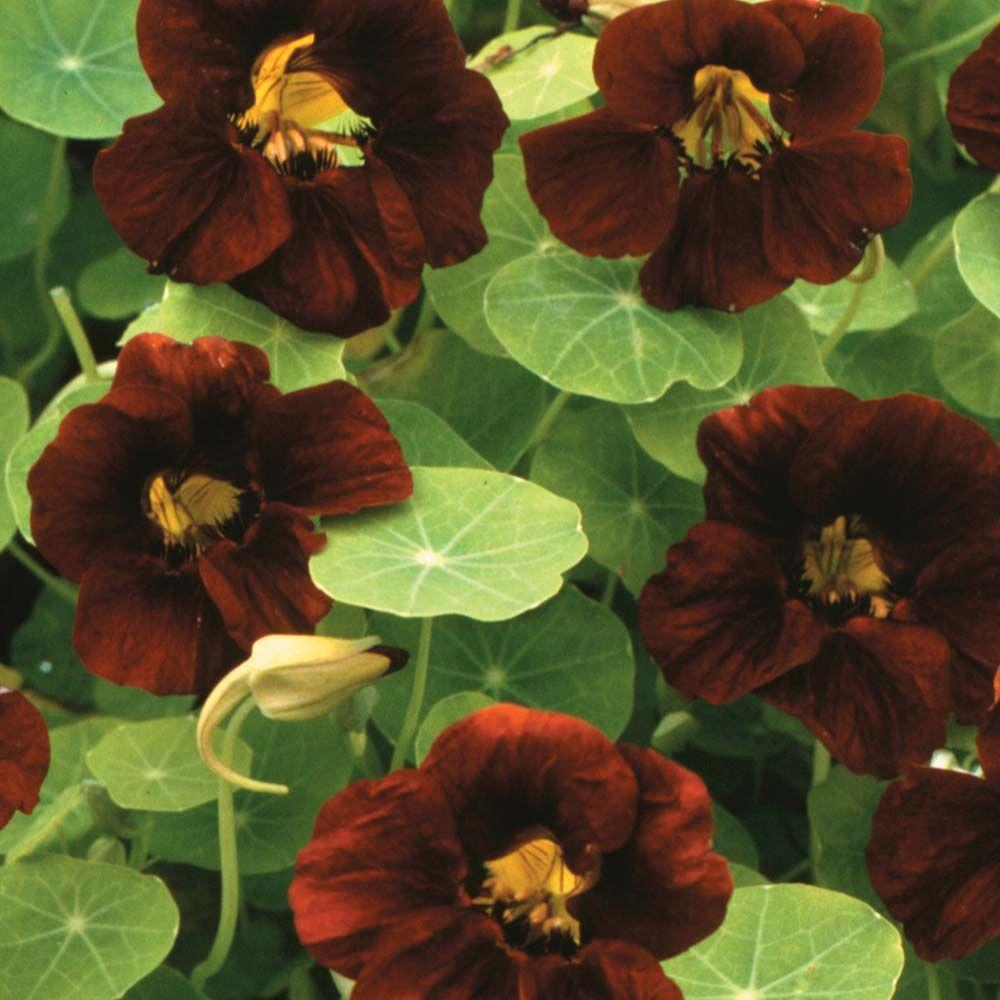 Buy culinary herbs plants nasturtium plants - Nasturtium Black Velvet Tropaeolum Minus Intense Velvety Black Flower A Completely Unique Color Within This Genus Dwarf Plants Are Ideal For Containers