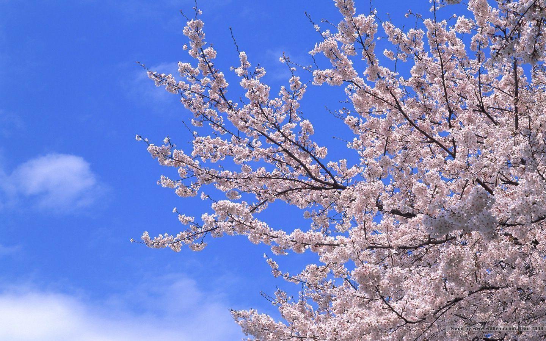 1440900 Japanese Sakura Wallpapers