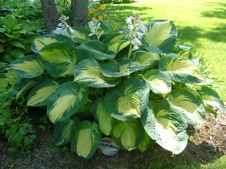 Hosta great expectations hostas pinterest plants for Green plants for landscaping