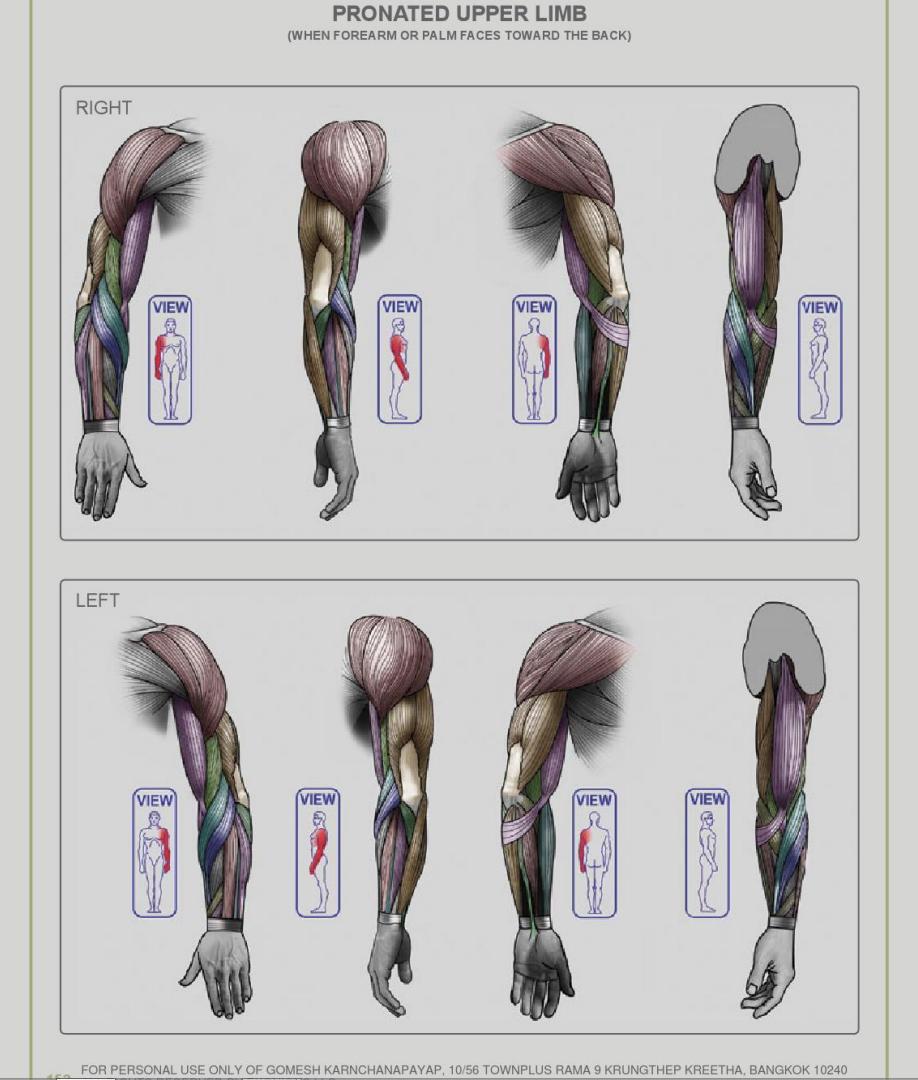 pronated upper limb- Anatomy for sculptors | Anatomy | Pinterest ...