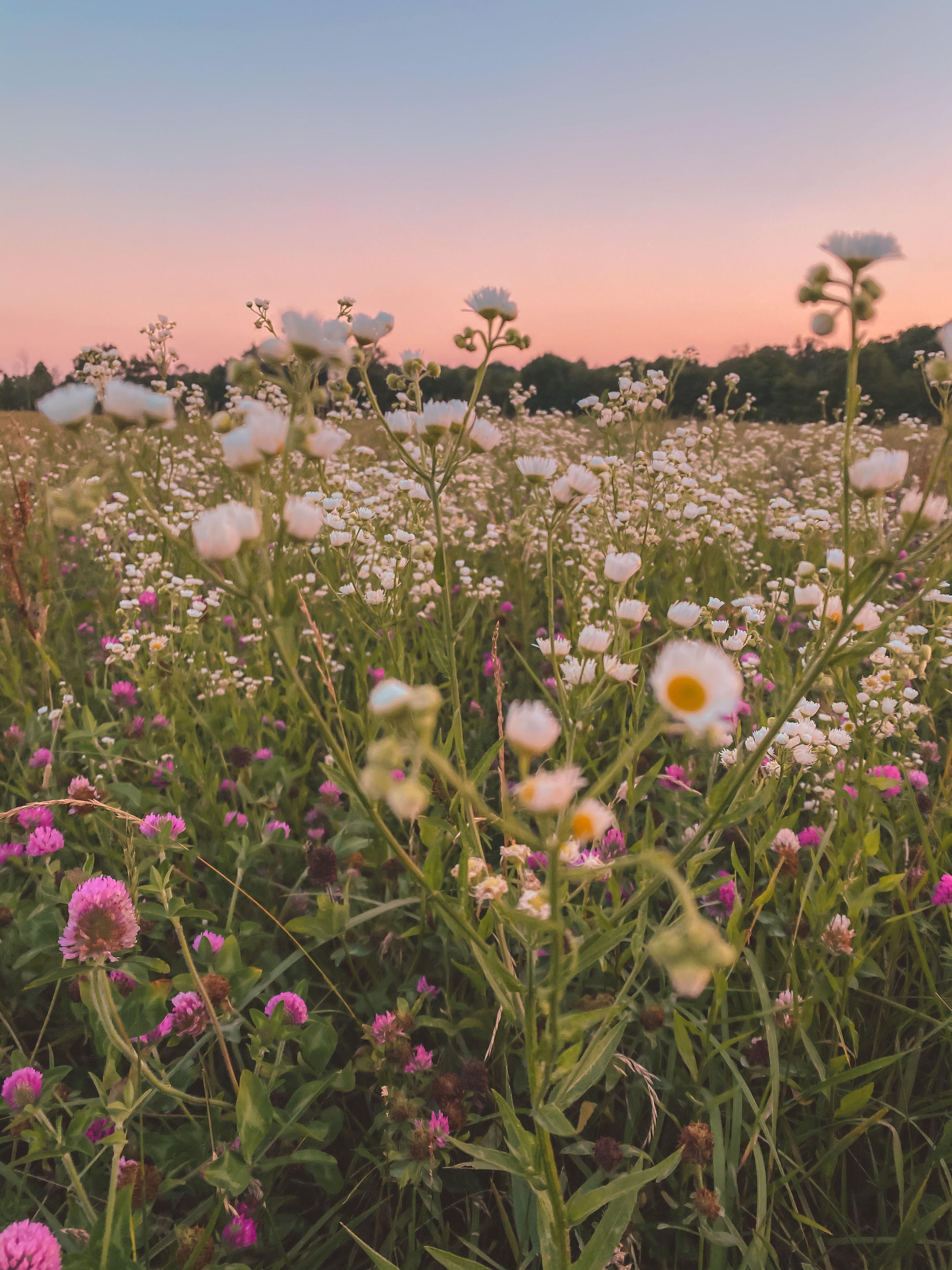 Summer Flower Field Field Wallpaper Plant Aesthetic