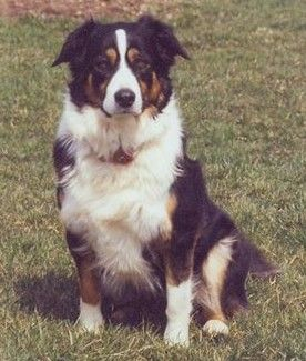 Home Share The Spare Australian Shepherd Border Collie Cute Dogs