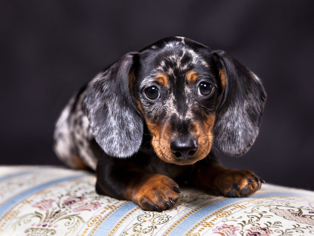 Doxie Pin Dog Breeds Weenie Dogs Dachshund Puppies For Sale