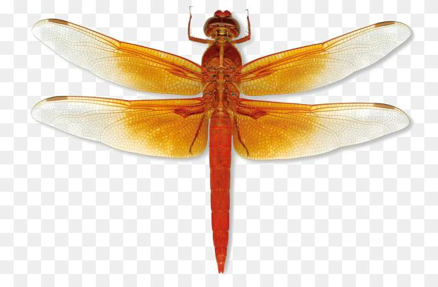 Dragonfly Facts Png Dragonfly Png Transparent Images Pictures Photos Png Arts 640 419 Png Download Free Transpare Dragonfly Facts Dragonfly Picture Photo
