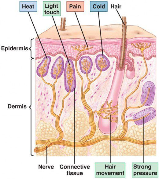 The Best Free Nerve Endings Under Microscope Wallpapers