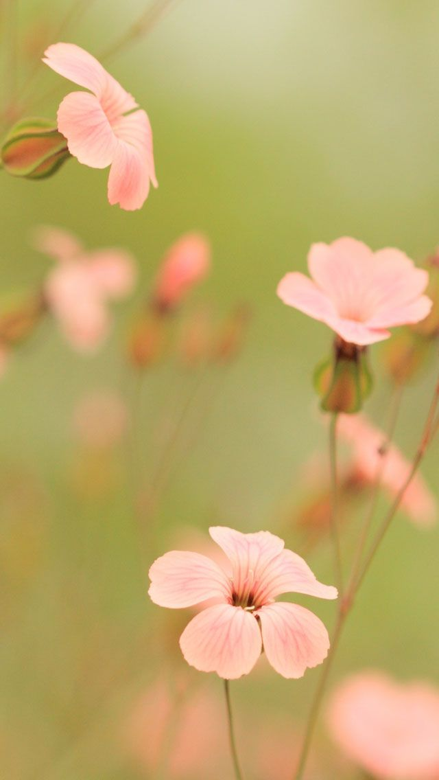 Pink Flowers Free Iphone Hd Wallpapers Iphone 4 And Iphone 5 Wallpapers Iphone Wallpaper